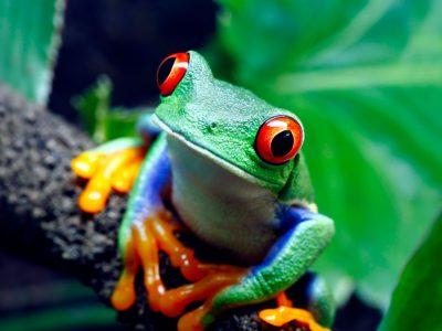 Frog in Central America